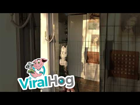Houdini Kitten Escapes with Ease || ViralHog