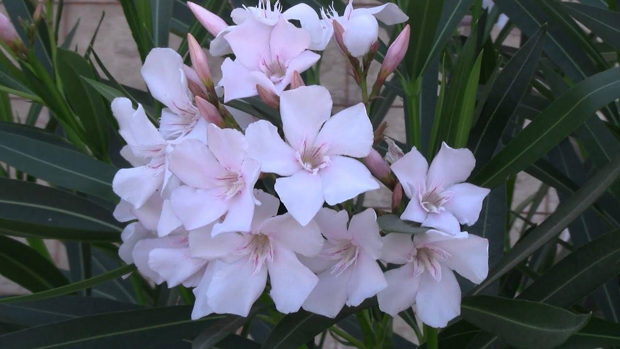 Plant With White Flowers Pianta Con Fiori Bianchi Youtube