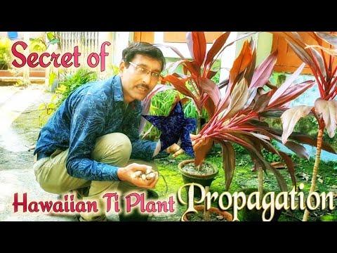 The Secret of Propagation of Hawaiian Ti Plant Cordyline fruticosa