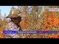 Sea buckthorn harvesting begins