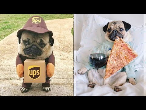 Funniest and Cutest Pug Dog Videos Compilation 2020 #1