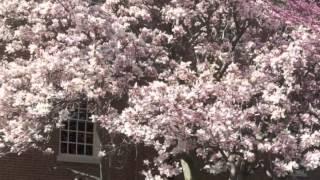 Magnolia soulangeana alba Saucer Magnolia