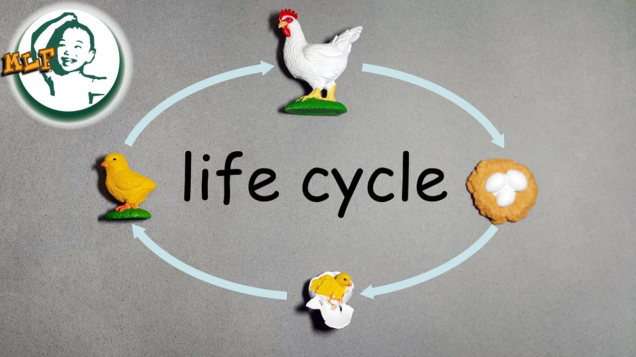 Learn chicken life cycle for kids with safari ltd life cycle toy (updated  version)  肉用鶏・採卵鶏のライフサイクル  - YouTube [ 720 x 1280 Pixel ]