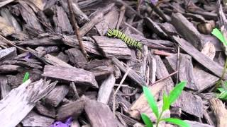 monarch caterpillar out for a stroll