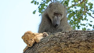 Baboon Adopts and Grooms Lion Cub | UNBELIEVABLE!