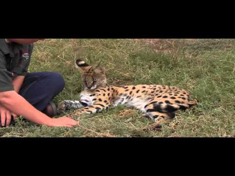 Meet Diesel the Serval at Daniell Cheetah Project, South Africa