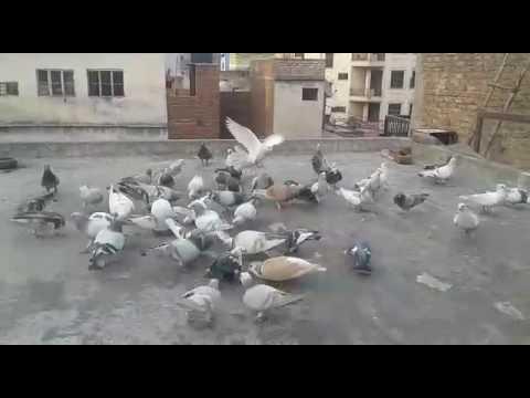 Kabootar bazi in delhi-6 in inderlok