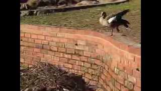 Our Egyptian Goslings Thumbnail