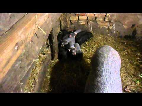 свиноматка и поросята условия разведения свиней