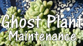Ghost Plant Maintenance - Pruning & Propagating Succulents