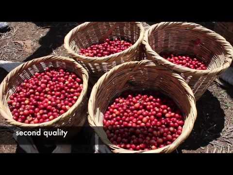 Umami Coffee Camp Honduras - a training campus for coffee lovers
