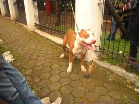 Pitbull di Pet Park Bandung