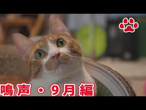 2017 9月 深夜の猫部屋に響くまやの鳴声【瀬戸のまや日記】Meow of a cat Sept 2017 Maya