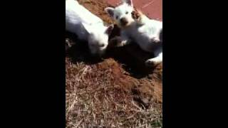 Westie Pups Dig A Hole!