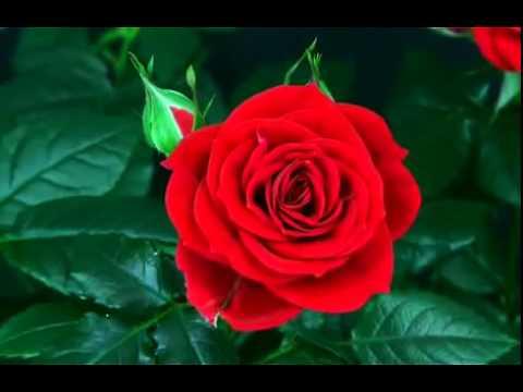 fevrale-kupit-buket-tsvetov-iz-55-roz-tebe-daryu-rodnaya-zemlya-buketi-beli-rozi