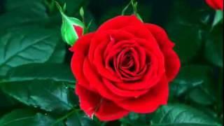 Как распускаются розы....Нереально красиво.mp4