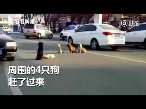Estos perros tan fieles custodian el cuerpo de su amigo atropellado