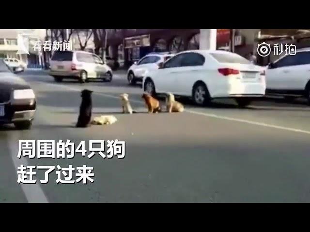 Cuatro perros custodian fielmente en una calle el cuerpo de su amigo atropellado