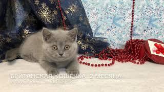 Британский котенок, возраст 2 месяца, продаётся