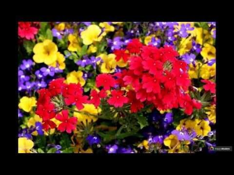 Вербена: 50 ярких растений