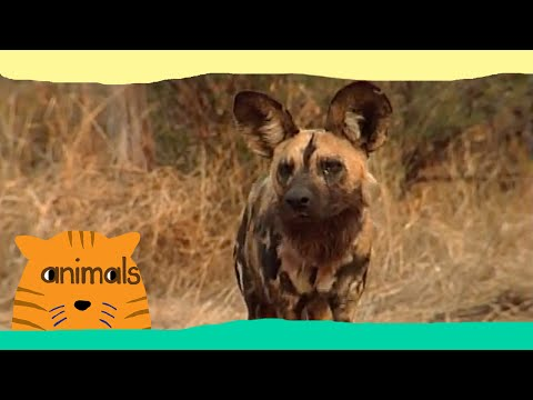 Be The Creature - Expedition African Wild Dogs (Full Episode)