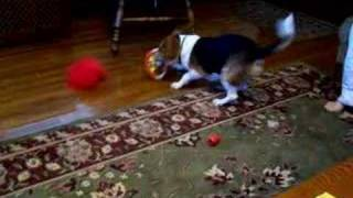 Beagle With A Present
