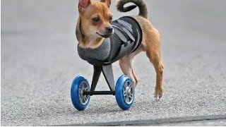 This-two-legged-dog's wheels-are-cooler-than-yours