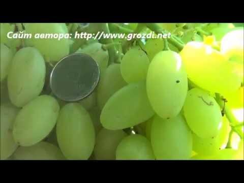 Сорт винограда: Кишмиш Столетие