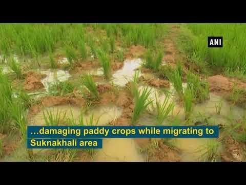 Watch: Wild elephants destroy crops in...
