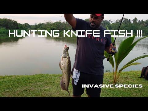 Knife Fish Hunting ...INVASIVE Species !!! [ Sri Lanka Fishing ]
