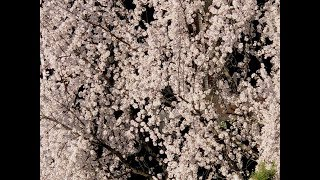 "Victor Rojas ""Cherry Blossom"""