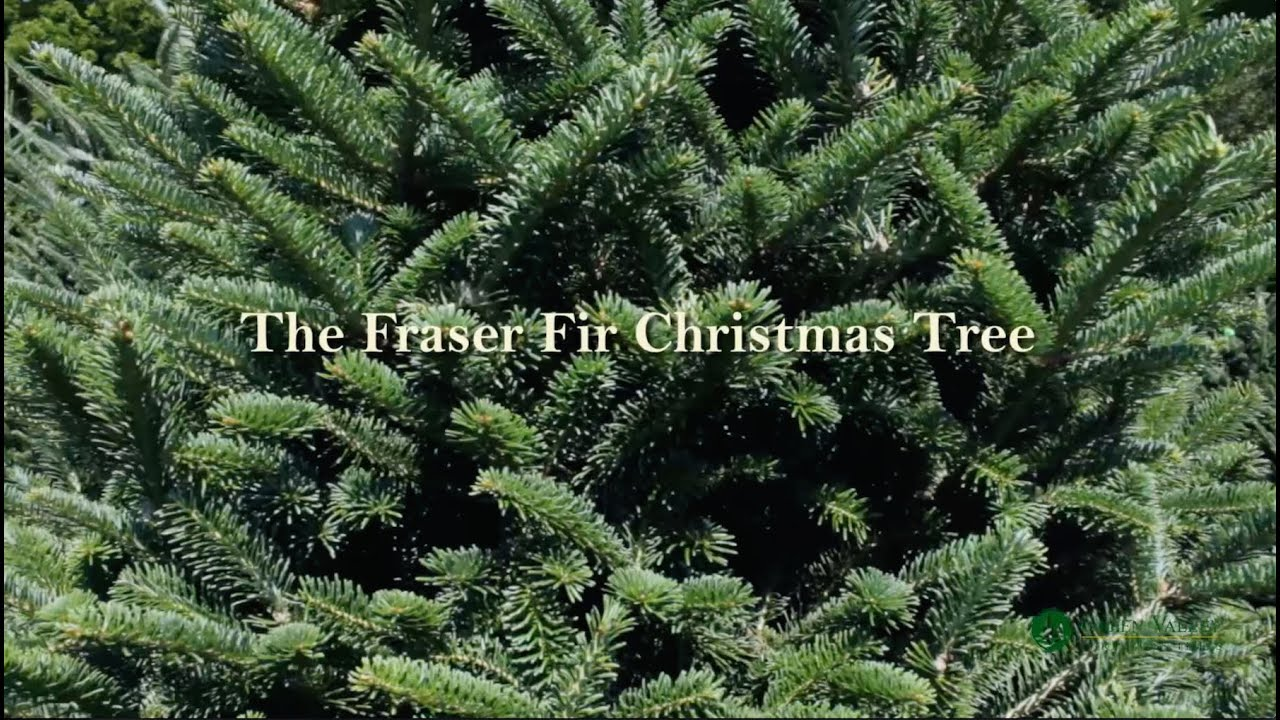 fraser fir christmas tree from green valley christmas trees