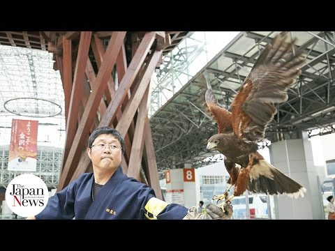 Kanazawa visitors, locals on lookout for helpful hawk