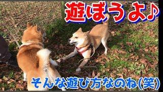 柴犬ハナは、他のワンちゃんに対して、攻撃性が強く、見て近くとすぐ吠...