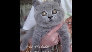 Ласковый британский котенок. Sweet baby kitten.