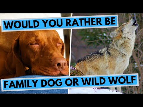 Would You Rather Be a Wild Wolf or a Family Dog? ROCADOG QNA 7