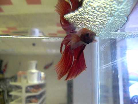 Male Siamese Fighting Fish Building A Nest