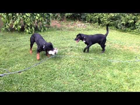 Rottweiler exercise