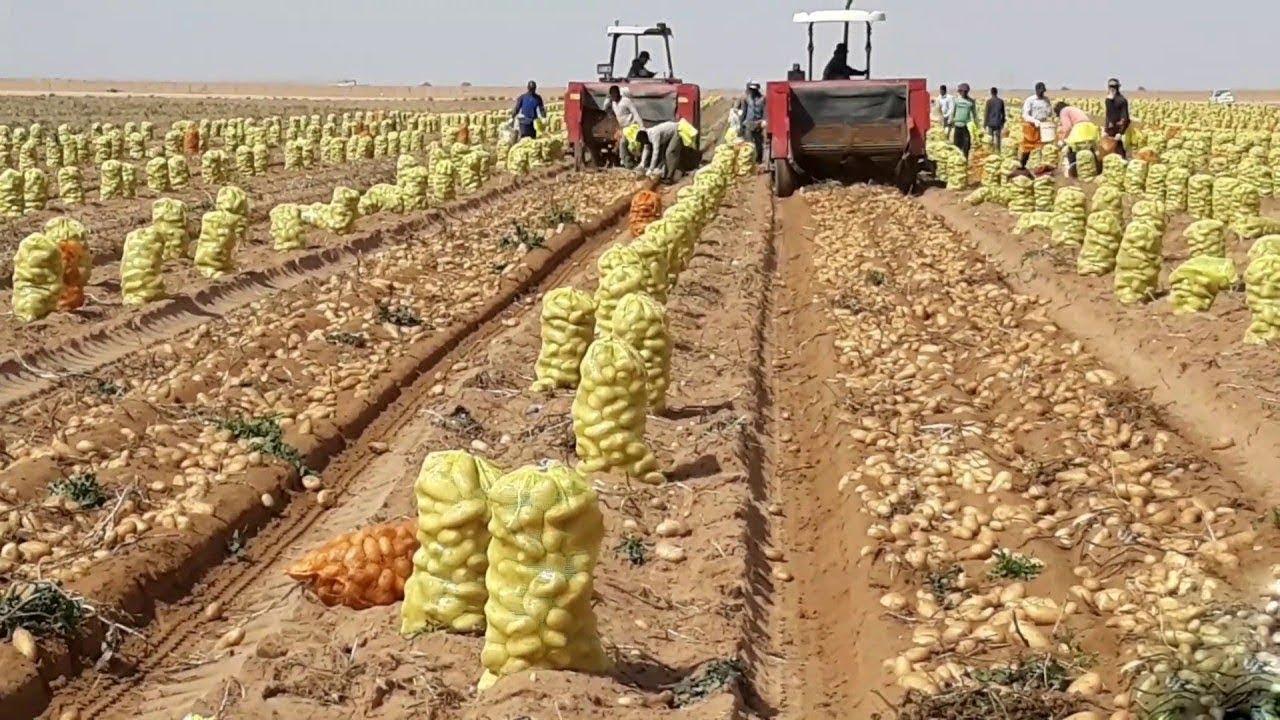 How To Harvest Potato? – Potato Cultivation and Farming Technique Step By Step Harvesting Potato