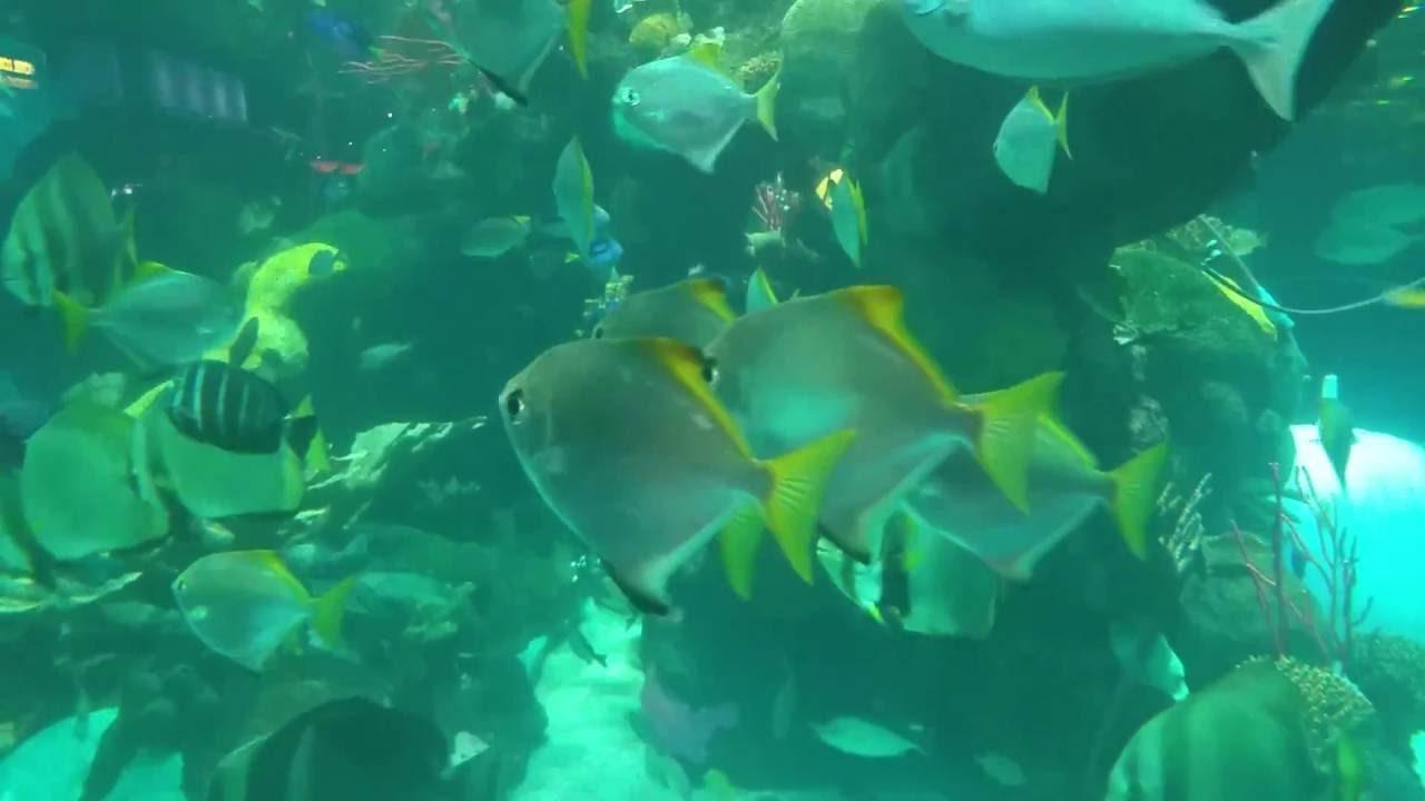 spectacular mono argentus in the silverton aquarium youtube