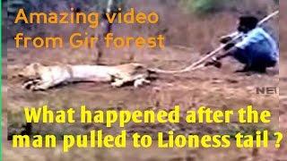 क्या किया शेरनी ने ? जब युवक पूछ खींची । What happened after the Man pulled to Lioness tail ?