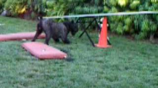 Giant Schnauzer And Chinese Crested Playing