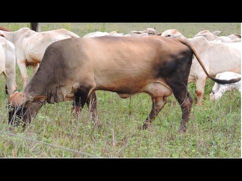 Como Aumentar a Rentabilidade na Pecuária de Corte - Fase de Engorda