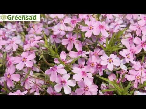 Флокс шиловидный  - видео-обзор от Greensad