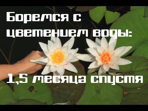 Рдест Гайя Potamogeton gayi, аквариумное растение, купить