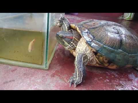 My Turtle Care | 8 Year Old Red Eared Slider Turtle | Aquatic Turtle Cleaning, Feeding And Playing