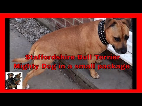 English Staffordshire Bull Terrier- Mighty Dog in a small package