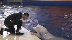 WELTREISE: Weißwal-Damen ziehen von Shanghai nach Island um