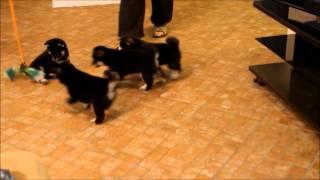 Щенки Сиба ину дома | Shiba inu puppies in home