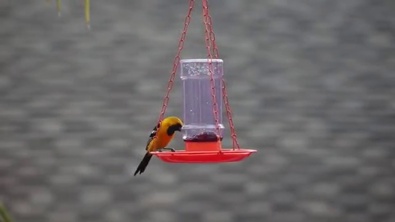 hires birdfeeder fdr feeder feeders oriole the recycled to best bird orioles attracting pi zen